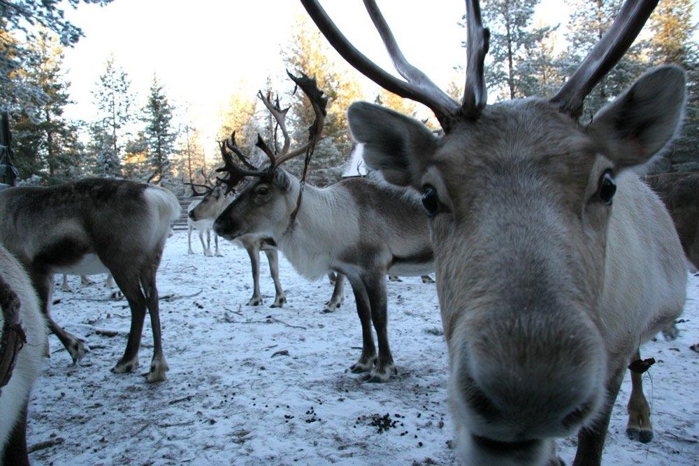 viaggio di nozze in Lapponia, renne di Babbo Natale
